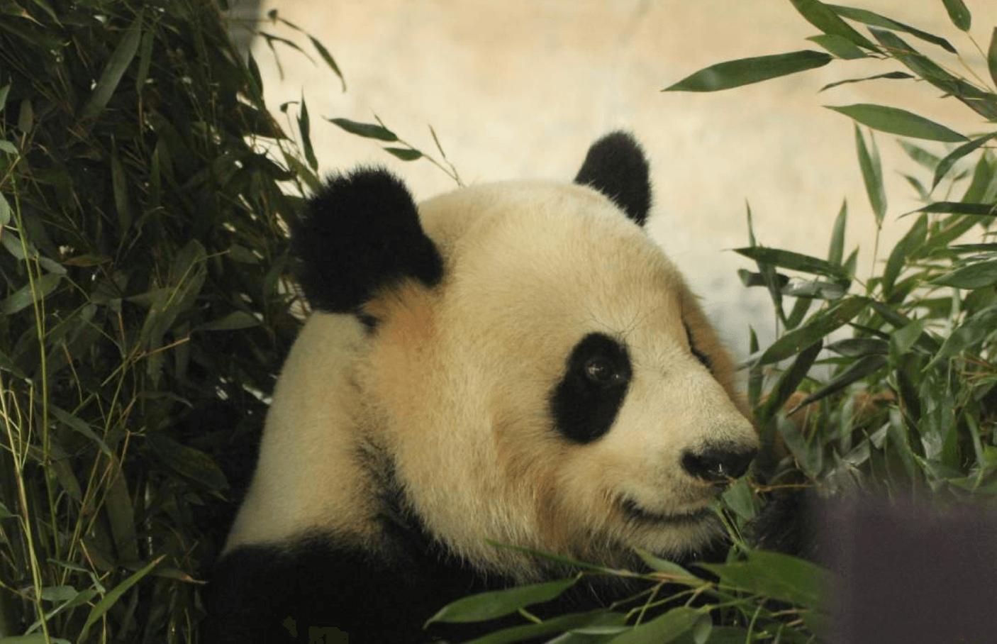 Tiergarten Berlin Panda by Patrick Jost